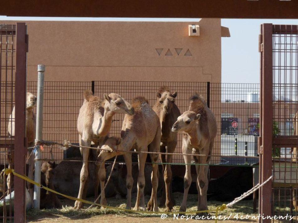 Camel Souk, Al Aïn, Abu Dhabi