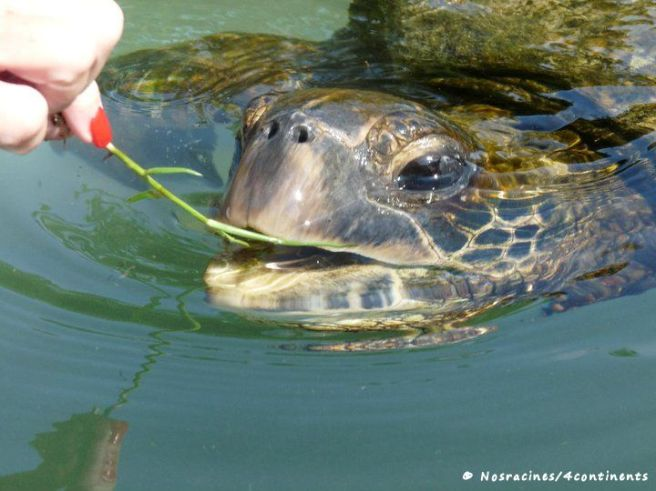 Baignade avec les tortues, Hilo, Big Island, Hawaii - 2010