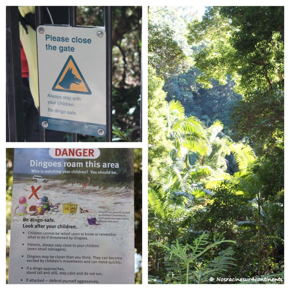 Attention aux dingos! Fraser Island - 2012