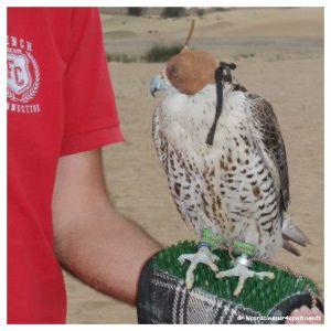Avec les faucons, Bab Al Shams Desert Resort - 2013