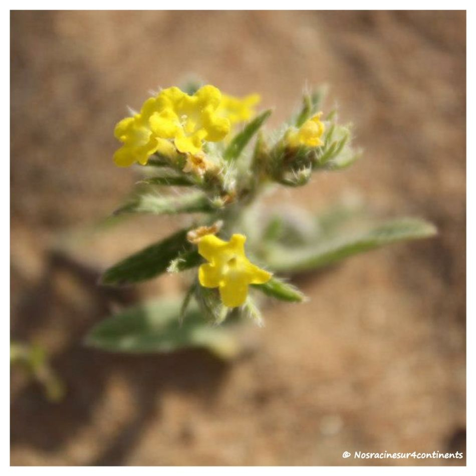Fleur qui pousse dans le désert de Dubaï - 2013