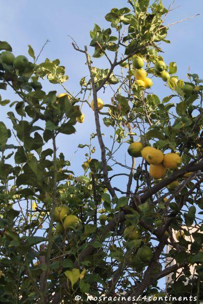 Des citrons à profusion, Coronado Island