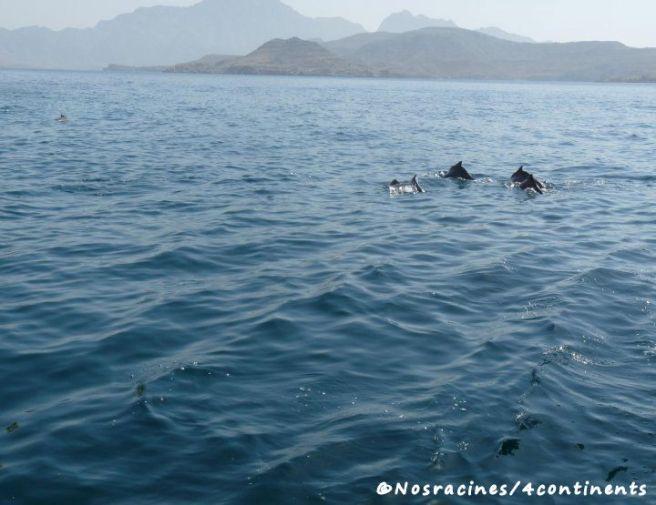 Les dauphins de Musandam viennent nous saluer