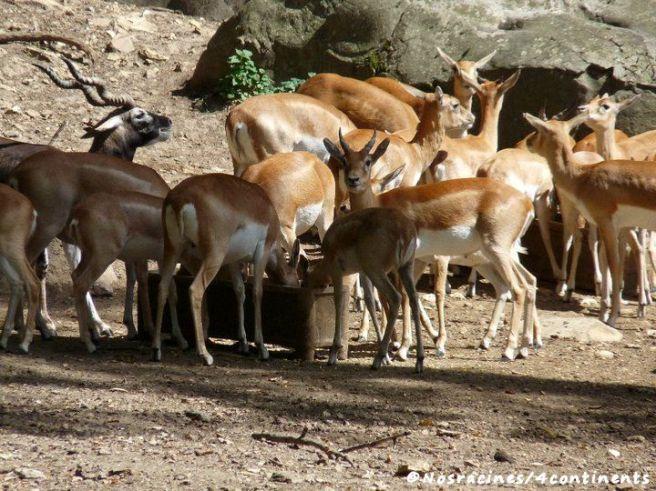Des cerfs et des antilopes en liberté, réserve zoologique de Sauvage