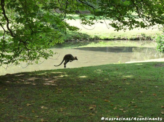 Le premier kangourou que nous avons aperçu, au grand bonheur des enfants!