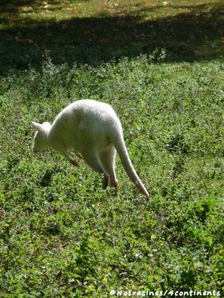Un kangourou albinos... Surprenant!