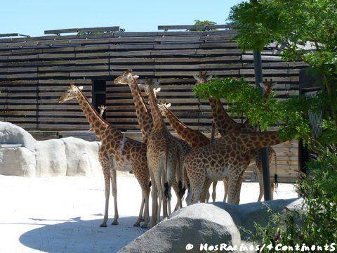 Les girafes du Parc Zoologique de Paris