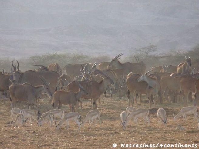 En safari sur Sir Bani Yas Island
