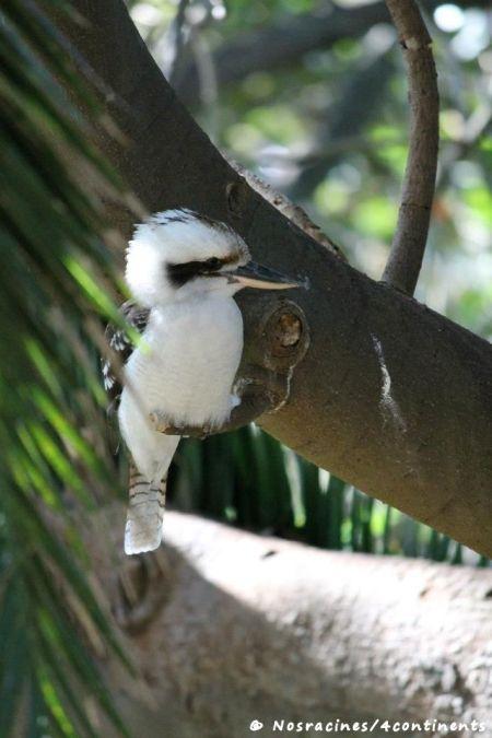 Un Kookaburra, un oiseau que l'on rencontre fréquemment à Sydney
