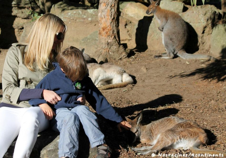 Moments tendres avec les wallabies du Taronga Zoo