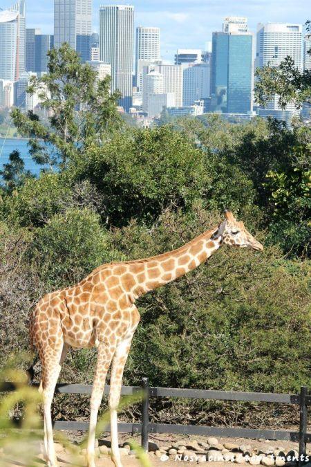 Les girafes de Taronga Zoo