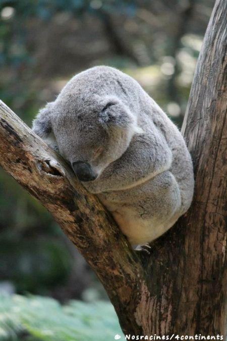Un koala qui pratique son activité préférée : la sieste