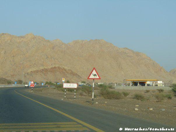 Les panneaux nous signalent la présence de dromadaires, qui sont effectivement nombreux sur la route