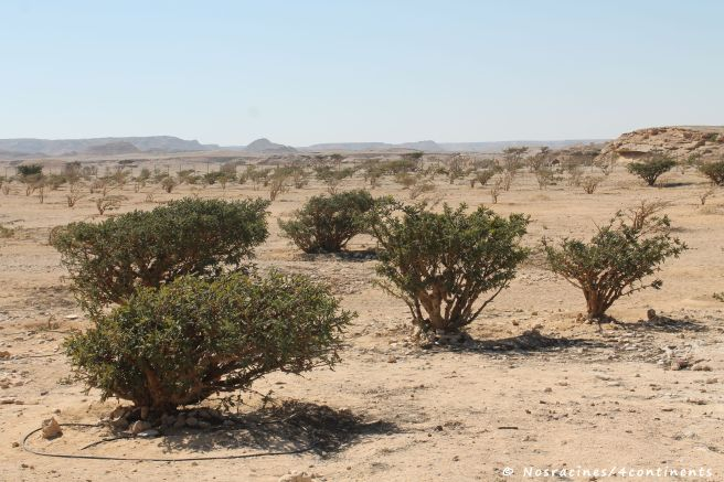 Les arbres à encens (Boswellia), wadi Dawkah