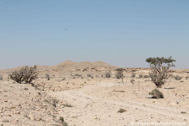 Les arbres à encens qui se dressent sur un sol asséché, wadi Dawkah
