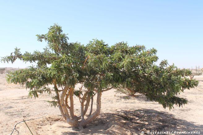 Même en hiver, les arbres en encens sont verts malgré le climat désertique