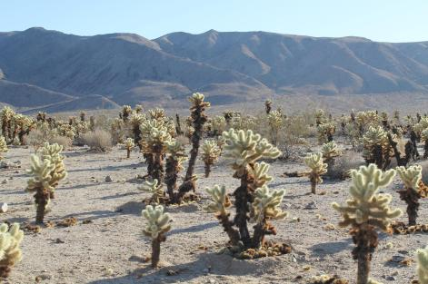 Joshua_Tree_National_Park_5