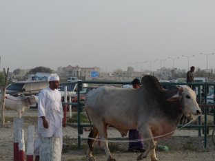Bullfighting_Fujairah_1