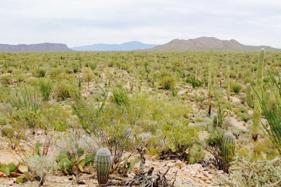 Saguaro_13