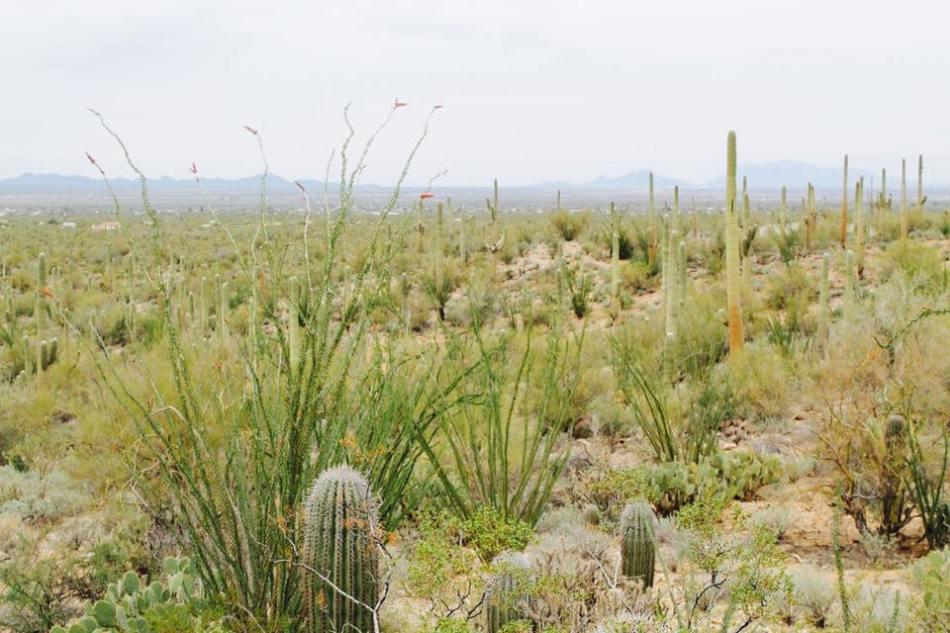 Saguaro_17