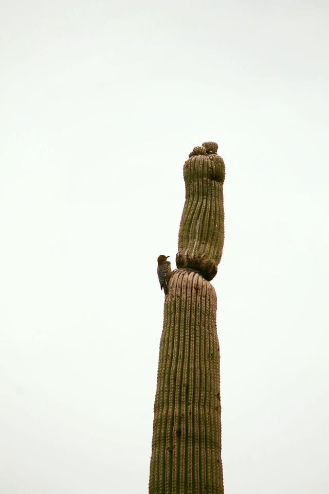 Saguaro_24
