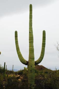 Saguaro_National_Park_3